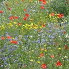 Blumenwiese in Grenz